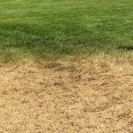 properly watered lawn next to dormant lawn