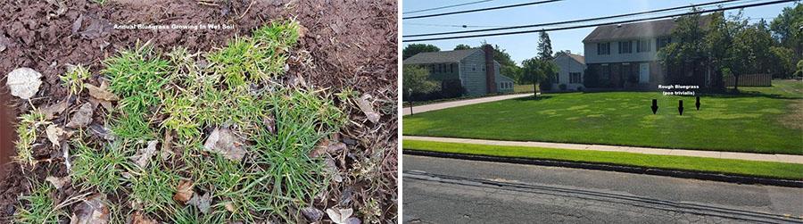 Annual blue grass and rough blue grass