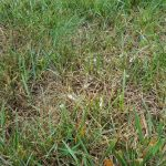 A lawn with pythium blight