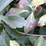Leaves showing the effects of Volutella