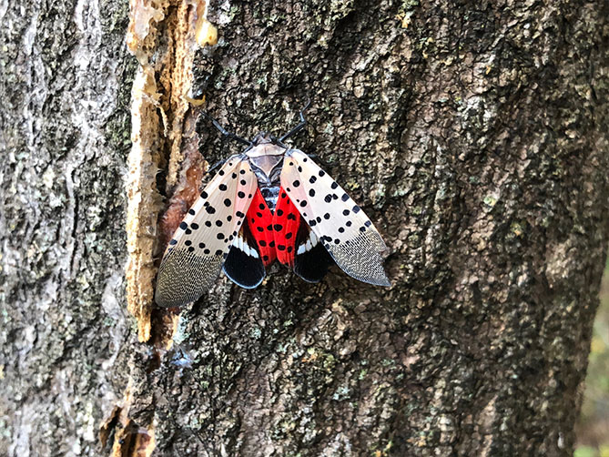 a spotted lanternfly on a tree trunk