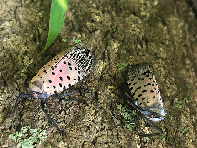 two spotted lanternflies on a tree trunk