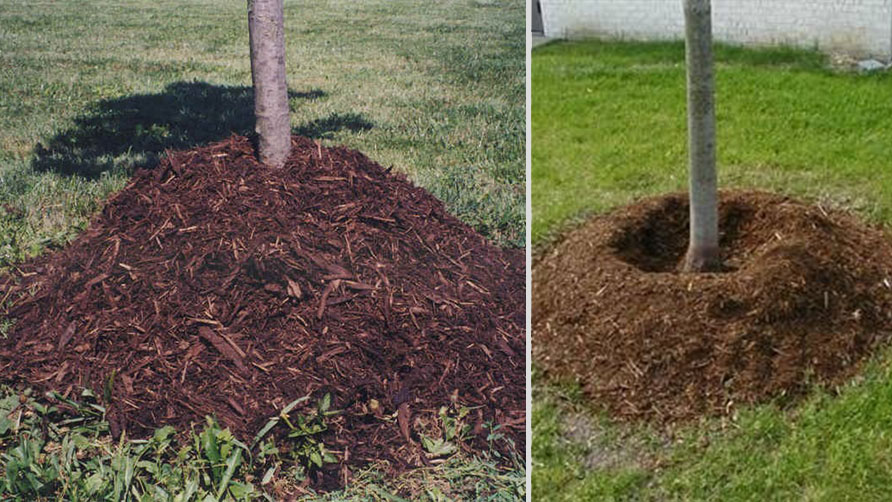 bases of two trees, demonstrating an overly mulched tree and a properly mulched one