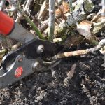 Removing dead branches from rose bush