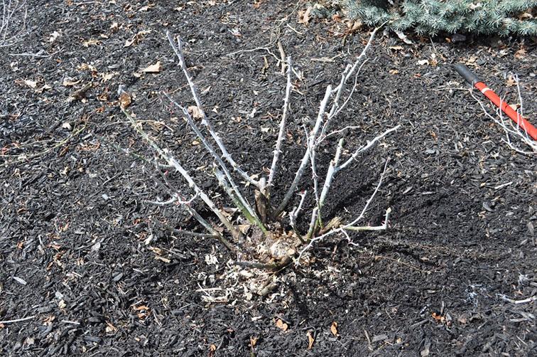 Rose bush cleared of all debris