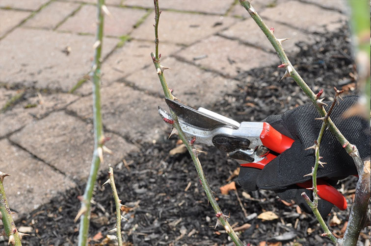 pruning tool being used to cut a rose bush