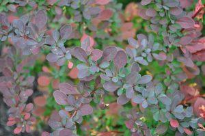 barberry shrub