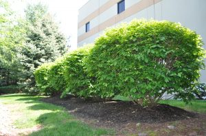 winged euonymus bush