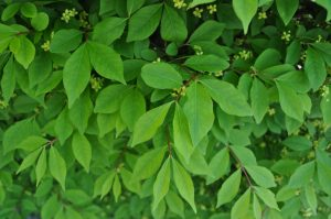close up of winged euonymus