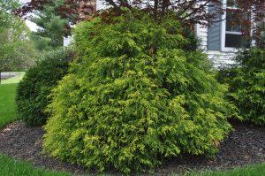 Golden Threaded Cypress