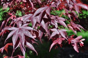 Close up of Japanese Maple tree leaves