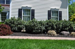row of laurel shrubs bordering a house