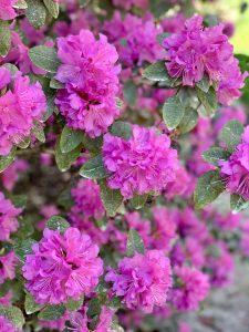 Spirea plant