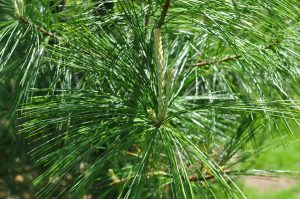 close up of white pine tree